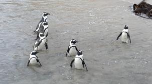 penguen birliği