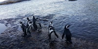 penguenler yakın