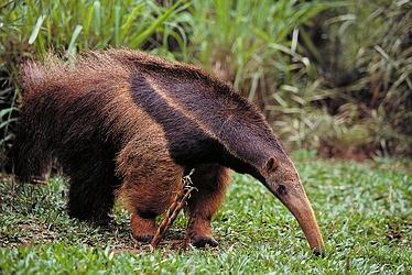 giant_anteater_4059_1__1247084372