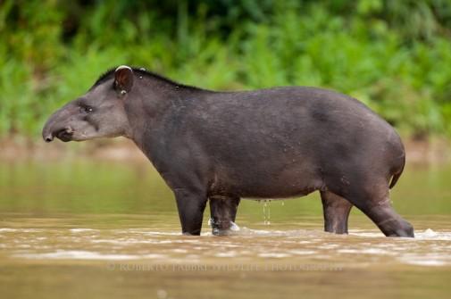South-American-Tapir-Tapirus-terrestris